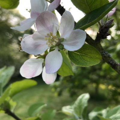 Pommier en fleur